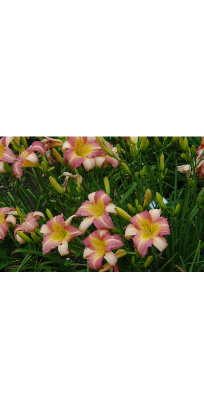 daylily blooms: ABALONE (VT)
