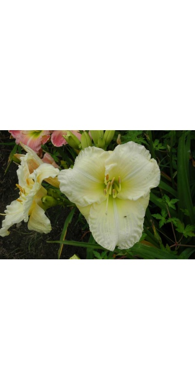 daylily blooms: BIG SNOW BIRD