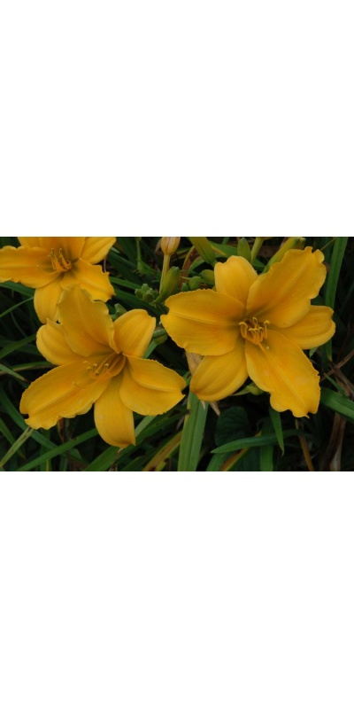 daylily blooms: OLALLIE AUGUST ROSE