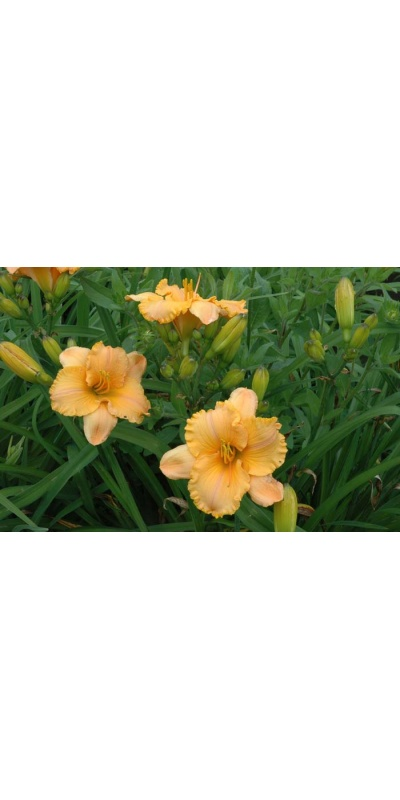daylily blooms: PURE AND SIMPLE