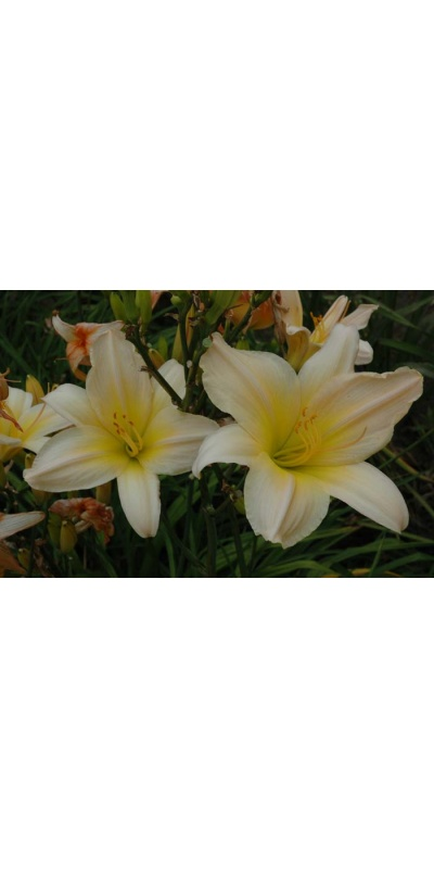 daylily blooms: SATIN GLASS