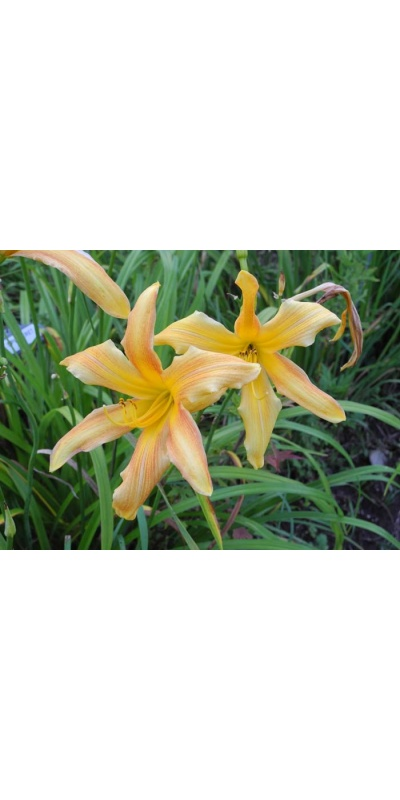 daylily blooms: SPINNERET