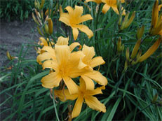 Early Blooming Daylilies