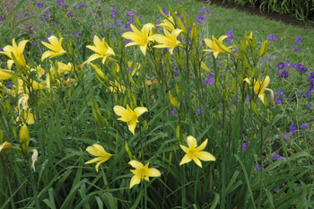 The Daylily Species Have Survived For Millennia. They Will Grow In Your  Garden!!