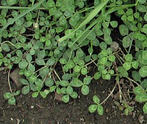 Identifying weeds in the garden white clover trifolium pratense perennial mightylinksfo