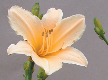 daylilies: YELLOW SIGHTS (VT)