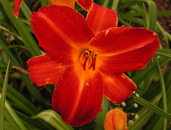 daylilies: EARLY REVIVAL (VT)