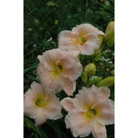 Daylily Scapes: BARBARA MITCHELL