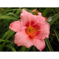 daylilies: DECATUR CHERRY SMASH
