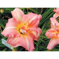 daylilies: BOUNTIFUL BLESSING