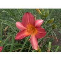 daylilies: WATERMELON SUMMER (VT)
