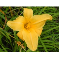 daylilies: BUTTERSCOTCH RING (VT)