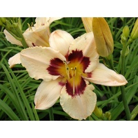 daylilies: THUNDER PATCH
