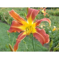 daylilies: CHALLENGER
