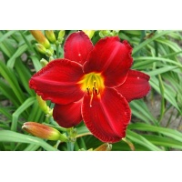 daylilies: CHICAGO RUBY