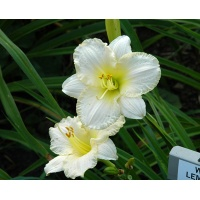 daylilies: WHITE LEMONADE