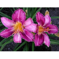 daylilies: CHICAGO KNOBBY
