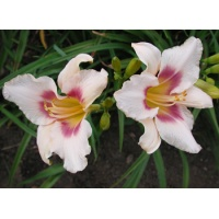 daylilies: CHICAGO PICOTEE PRIDE