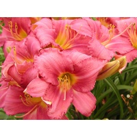 daylilies: CHICAGO PRINCESS