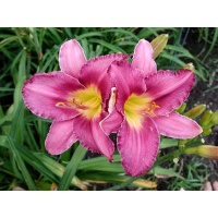 daylilies: CHICAGO ROYAL CROWN