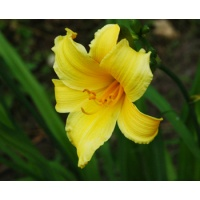 daylilies: + H. multiflora Yellow type (VT)