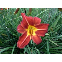 daylilies: DOUBLE BEAUTY type