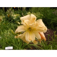 daylilies: DOUBLE OLD IVORY
