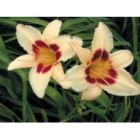daylilies: DUNE DARK EYES