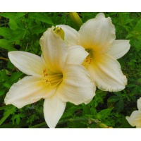 daylilies: ANGEL GOWN