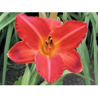 daylilies: FRED'S EARLY RED (VT)