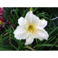 daylilies: FROST GIANT