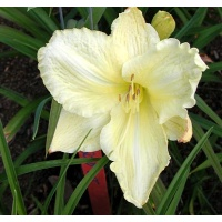 daylilies: FROSTED CRÈME