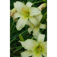 daylilies: GIANT NEAR WHITE
