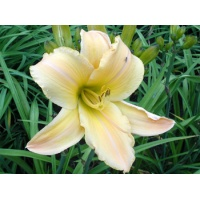 daylilies: HEAVENLY HARP