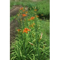 daylilies: H. fulva (fertile form)