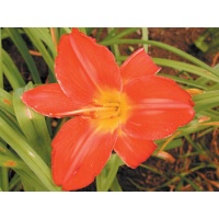 daylilies: JOLLY HEART