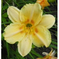 daylilies: JOYFUL RETURN