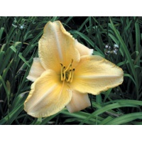 daylilies: LACY LUCY (VT)