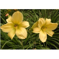 daylilies: LIME D. DRAGON (VT)