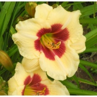daylilies: LITTLE BEIGE MAGIC