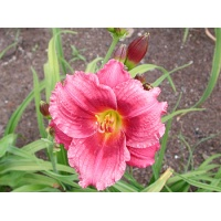 daylilies: LITTLE CRANBERRY COVE