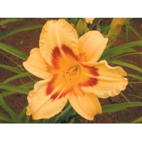 daylilies: LITTLE FLIRT