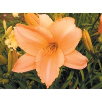 daylilies: LITTLE FLOCK