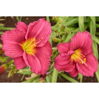 daylilies: LITTLE GRAPETTE
