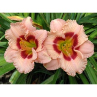 daylilies: LITTLE PLEASURE