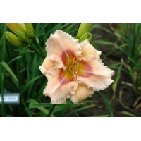 daylilies: MINT FRESH