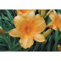 daylilies: OLALLIE HARVEST MOON