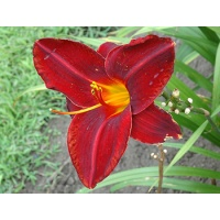 daylilies: OLALLIE ROYAL VELVET