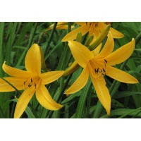 daylilies: ORANGE MAN (VT)