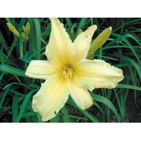 daylilies: OUTLOOK (VT)